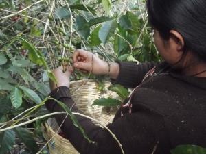 Desplazada del Ejido Colonia Puebla cosechando café @ SIPAZ